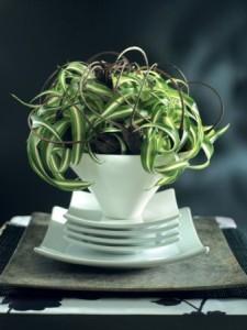 chlorophytum deco
