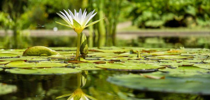 Quels poissons choisir pour orner son bassin ou son tang for Jardin aquatique
